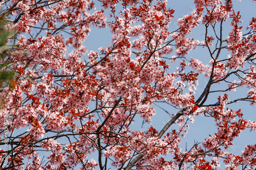 Wall mural blossoming flowers on a tree in spring