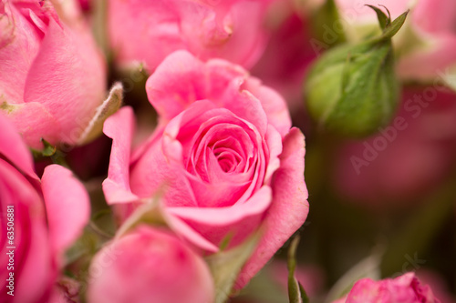 beautiful rose on nature