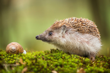 Eastern European Hedgehog