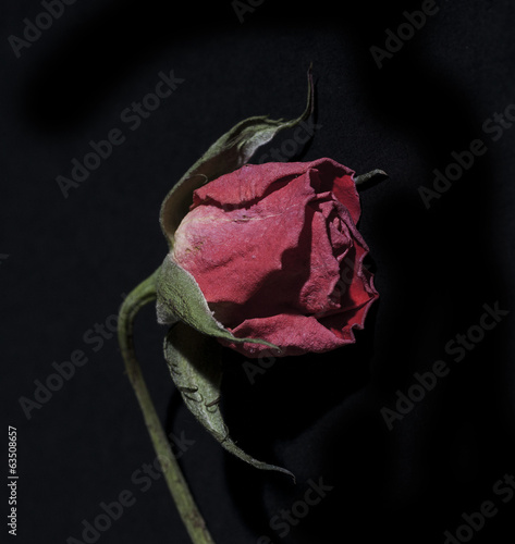 close up of decaying rose on black