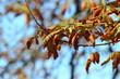 bright autumn leaves horse chestnut tree