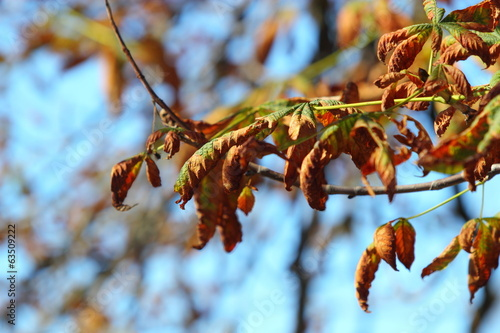 bright autumn leaves horse chestnut tree
