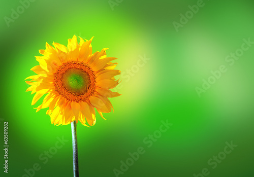 sunflower on green backgound