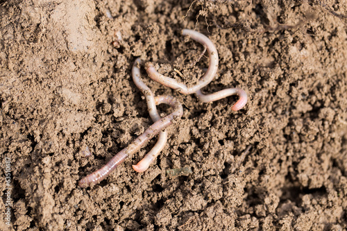 earthworms on soil. macro