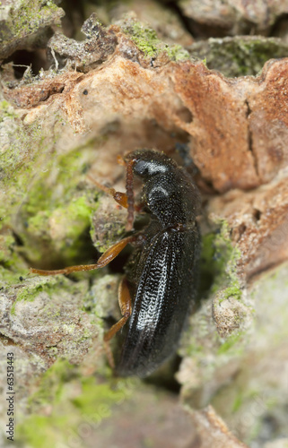 Mycetochara linearis on wood