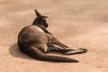 resting red kangaroo