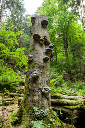 Polyporus Growth on a Tree
