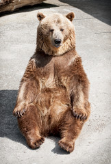 Young brown bear (Ursus arctos arctos) sitting on the ground