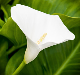 One white calla lily flower in the spring garden