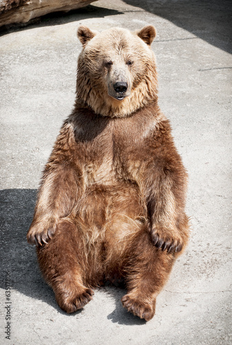 Young brown bear (Ursus arctos arctos) sitting on the ground