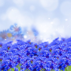 field of blue cornflowers