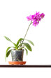 Domestic pink orchid flower in pot isolated on white background