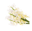white hyacinth isolated on a white background