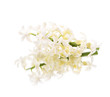 white hyacinth isolated on a white background , reflection