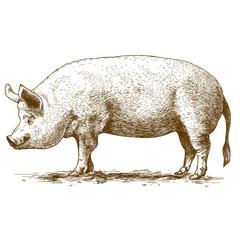 vector illustration of engraving big hog