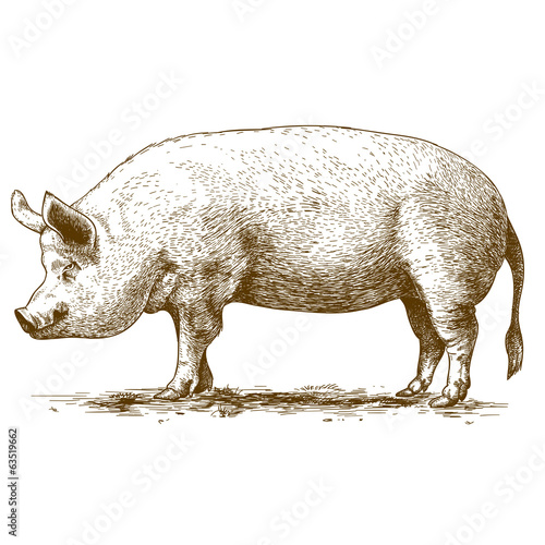 vector illustration of engraving big hog