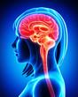 Anatomy of female brain cross section in blue