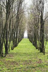 piantagione di alberi da legna