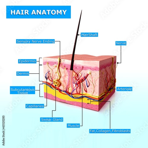 human hair follicles