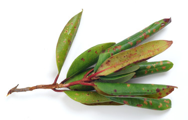 Spot disease on rhododendron leaves