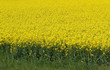 yellow field of rapeseed flowers in spring
