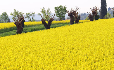 mulberry trees pruned and yellow field of rapeseed flowers 2