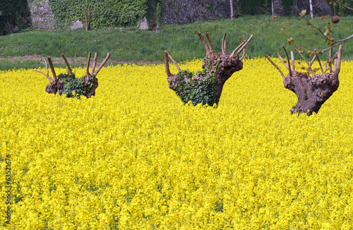 mulberry trees pruned and yellow field of rapeseed flowers in sp