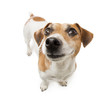 Small cute jack russell terrier dog smiling