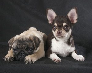 chihuahua and pug studio on a black background