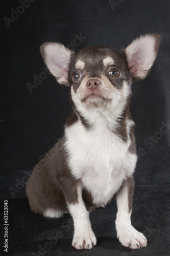 Chihuahua studio on a black background