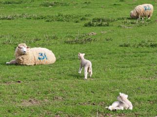 Ewe with her Lambs
