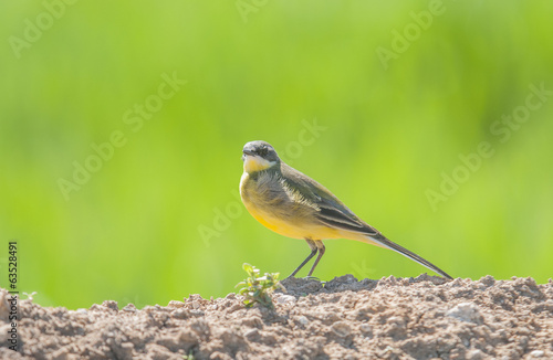 Yellow Wagtail series 03