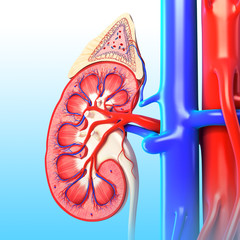 Anatomy of kidney cross section in blue