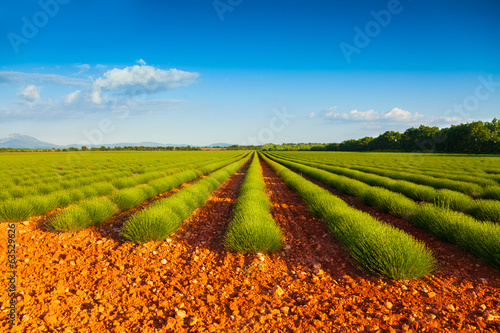 Green lavender fields  in summer