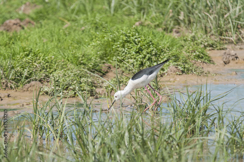 Black winged Stilt series 01