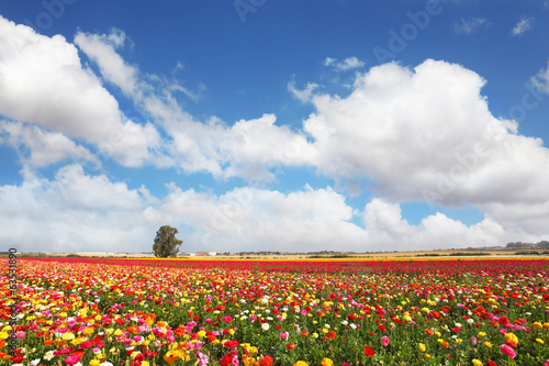 The peony garden ranunculus grow in kibbutz