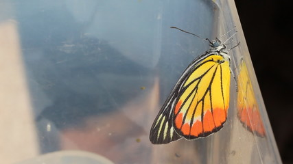 Close up of newly born Painted Jezebel butterfly