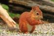 scoiattolo rosso roditore su albero