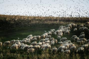 Stormo, pecorelle e aironi