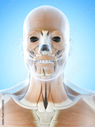 anatomy illustration showing the facial muscles