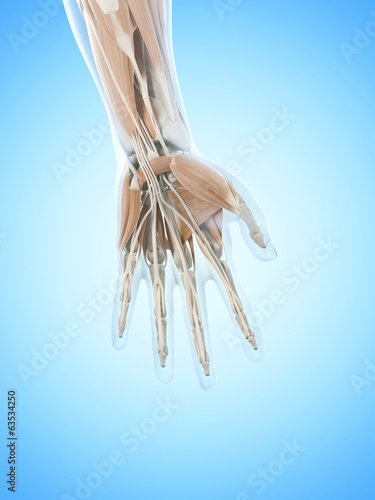 anatomy illustration showing the hand muscles