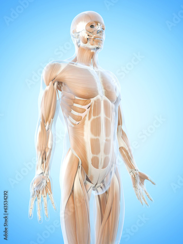 canvas print picture anatomy illustration showing the abdominal muscles