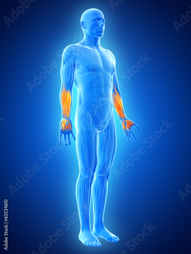 anatomy illustration showing the lower arm muscles