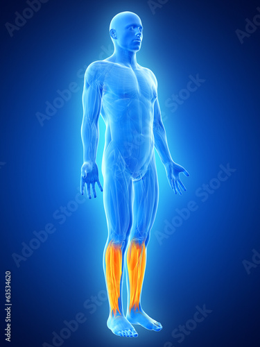 anatomy illustration showing the lower leg muscles