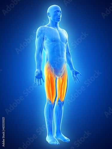canvas print picture anatomy illustration showing the upper leg muscles