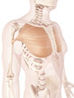 anatomy illustration showing pectoralis major