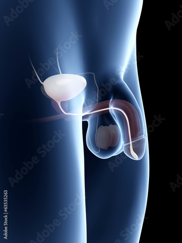 anatomy illustration of the penis - the bladder
