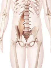 anatomy illustration showing the psoas major