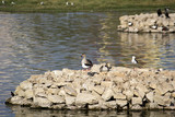 Waterbirds in Porbandar bird sanctuary poster