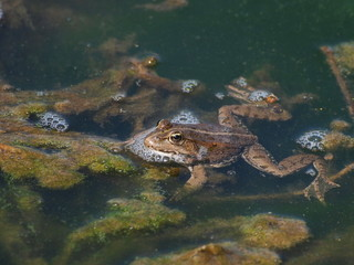 Marsh Frog and frog spawn, Rana ridibunda